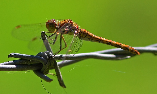 Dragonfly by chalkhillblue
