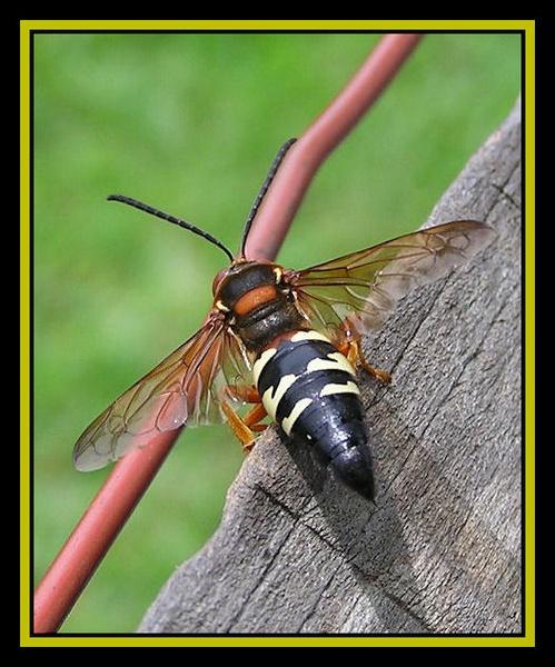 Wasp by Swanvio