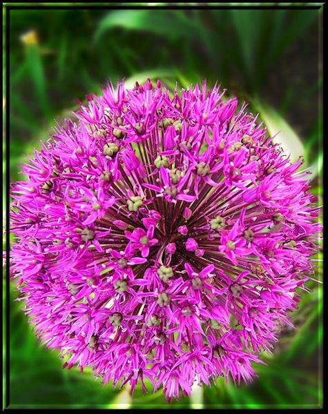 Allium by Swanvio