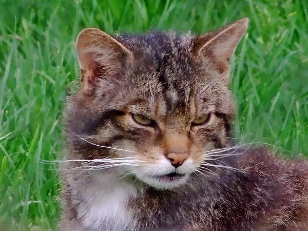 scottish wild cat by sparrowhawk