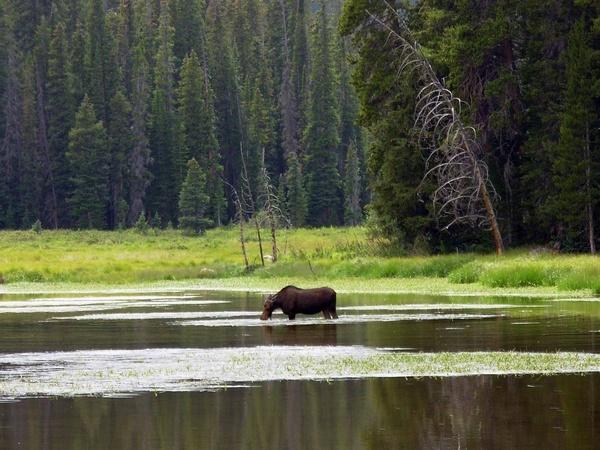 Moose in the lake by StuartDavie