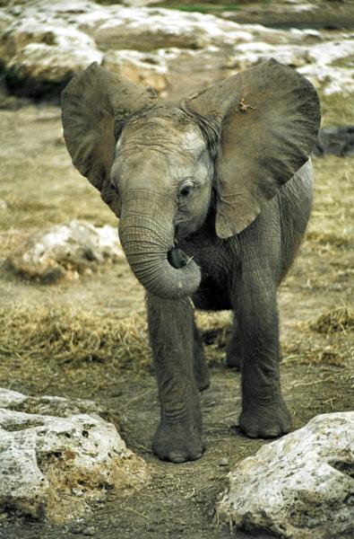 Elephant Jnr by jinstone