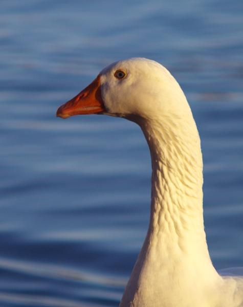 Good Looking Goose by chensuriashi