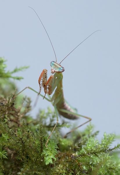 Blue Winged Mantis