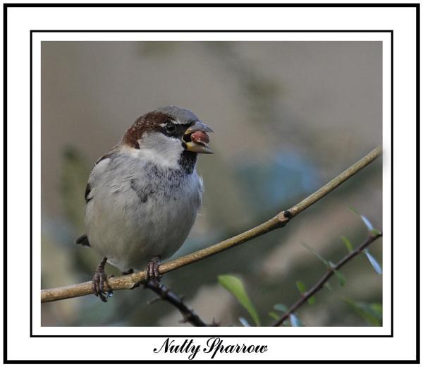 Nutty Sparrow by Maiwand
