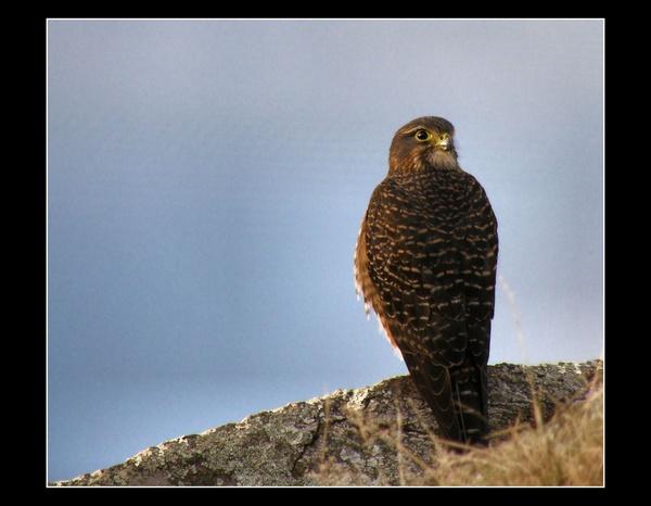 New Zealand Falcon by whoami2b