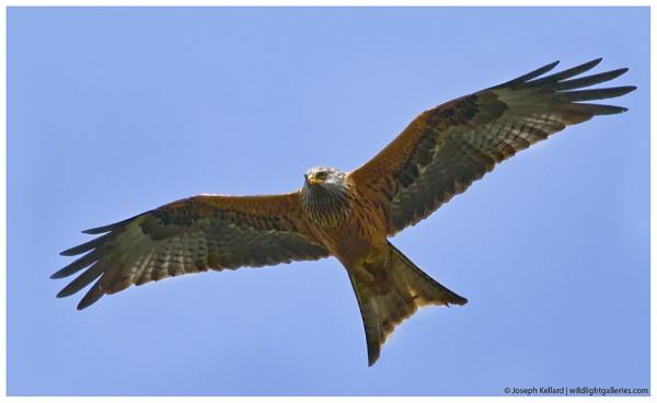 Red Kite by WildLight