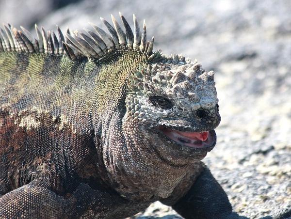 Marine Iguana by jbailey