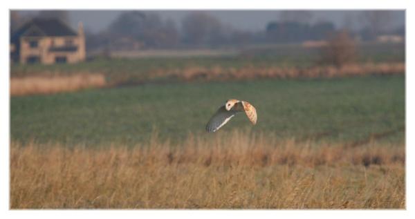 barn owl by ayliffe