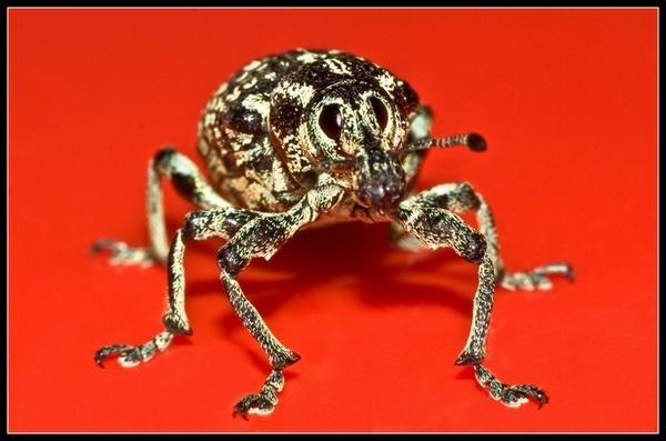 Weevil macro by deja008