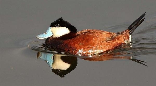 Ruddy Duck by targetman