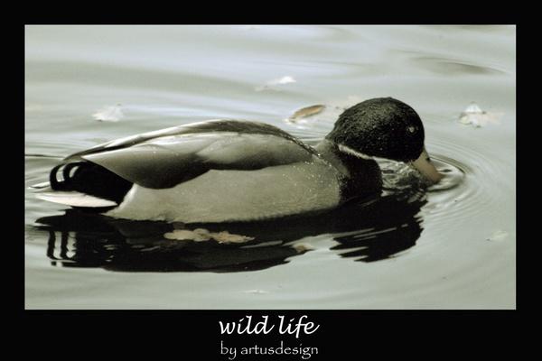 Ducky by artusdesign