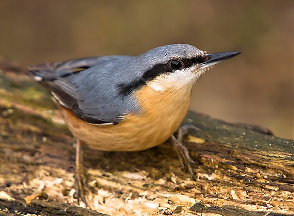 Nuthatch by ValSaxby