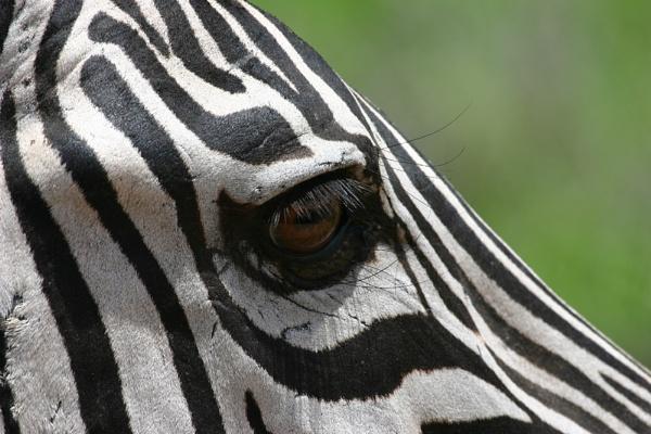 Eye of the Zebra by DebnIan