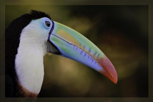 toucan by steve_kershaw