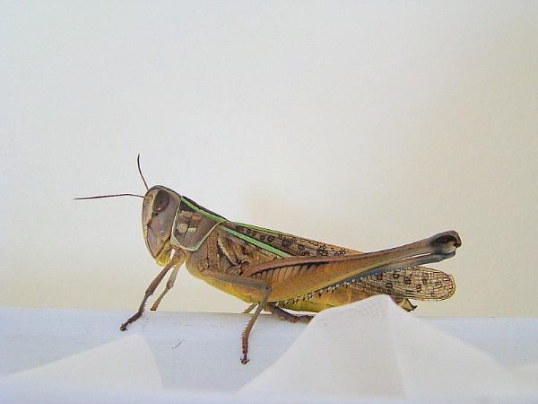 Locust by MaryMac