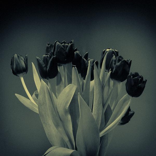 Black tulips by bjarte