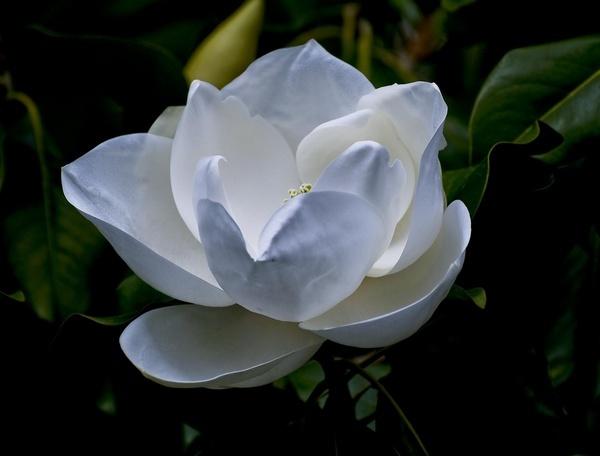 Magnolia Grandaflora by BillTheBaer