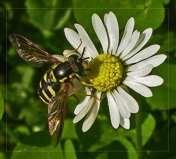 hornet by CarolG