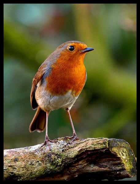 robin by lurksalot