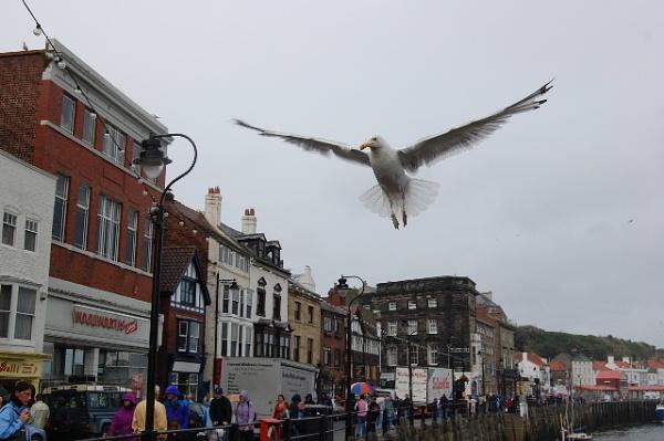 Gull in Flight by RobertH