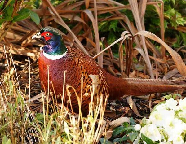 Pheasant & Christmas Rose by Thincat