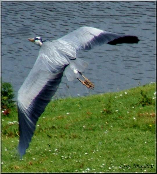 Heron by Mikelane