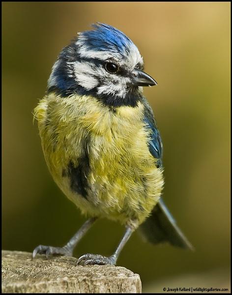 Scruffy Blue Tit by WildLight