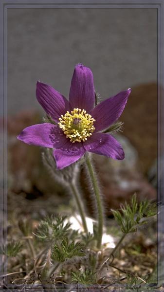 Pasqueflower (pulsillata vulgaris) by teocali