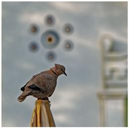 Turkey Dove