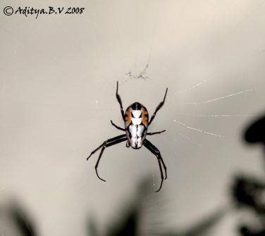 Spider by moonboyindia