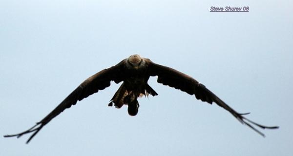 Black kites.... by Wilmot