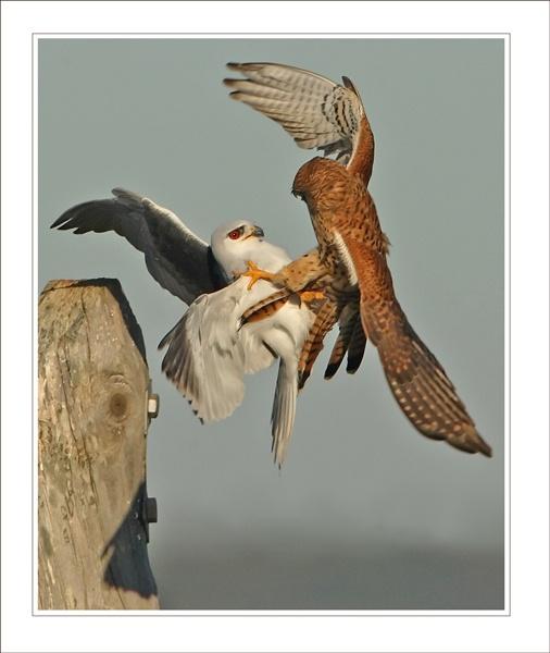 Kestrel-V- Black-shouldered-Kite by DannyVokins