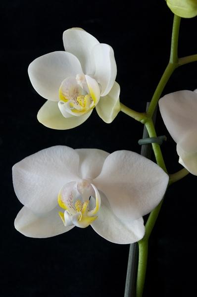 Phalaenopsis by sergedlm