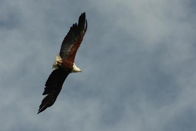 eagle by linda5