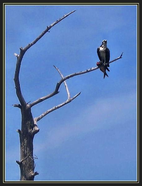 Osprey by Swanvio