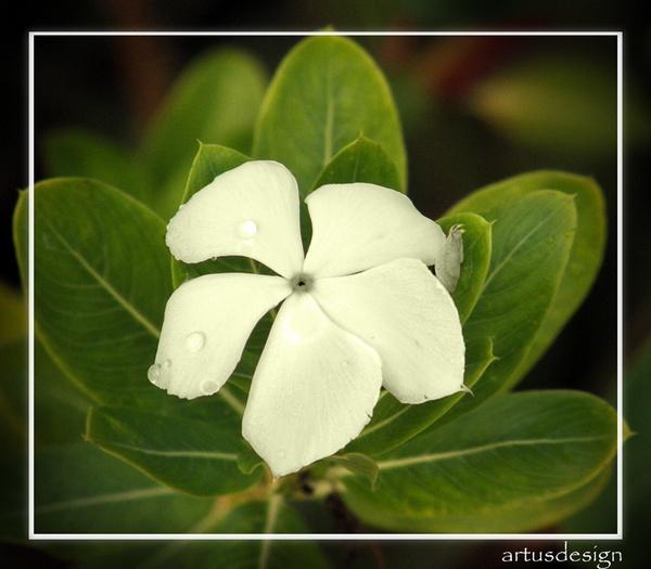 white flower by artusdesign