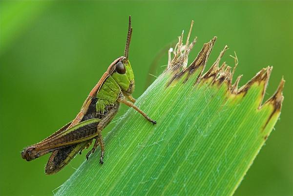 Grasshopper by olafo