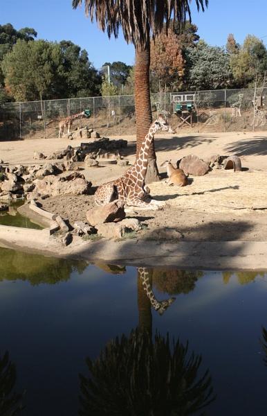 Giraffe At Rest by liparig