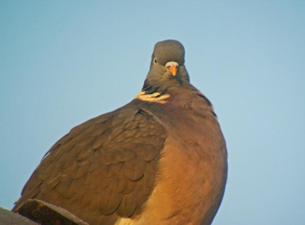 Pigeon by williamdsym