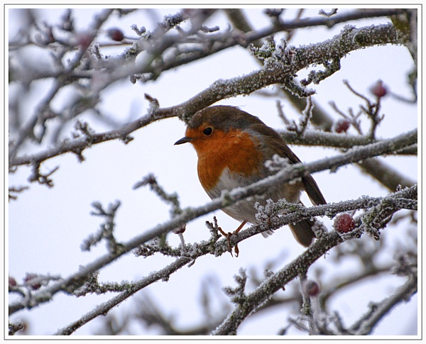 Cold Robin by sawdust