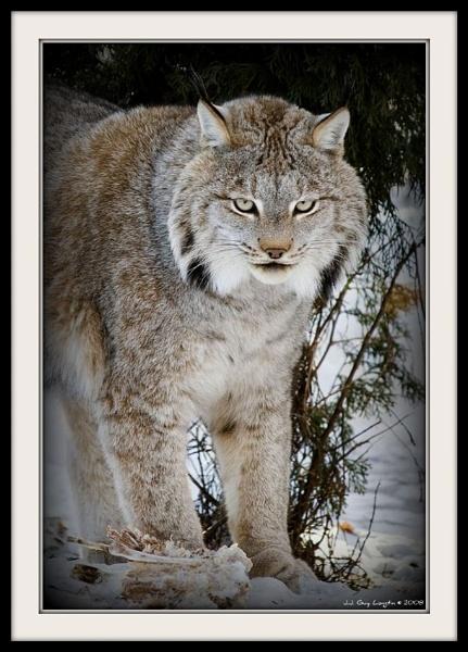 Lynx 1 by chieflong