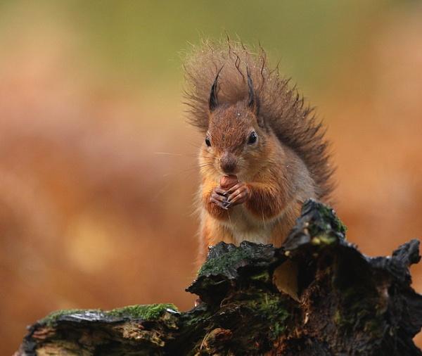 Squirrel nutkin........ by HUMIE