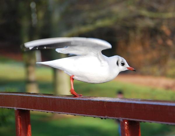 Black-headed gull by John45