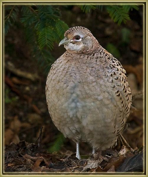 Grey Partridge? by teocali