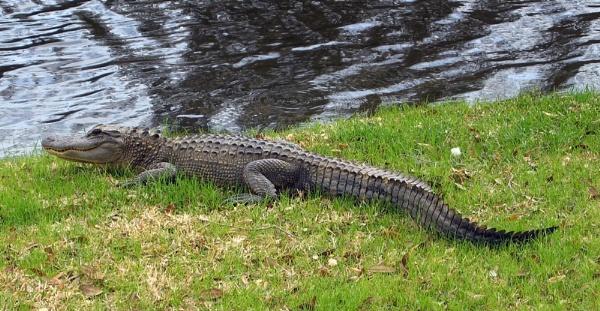 aligator by WaltP