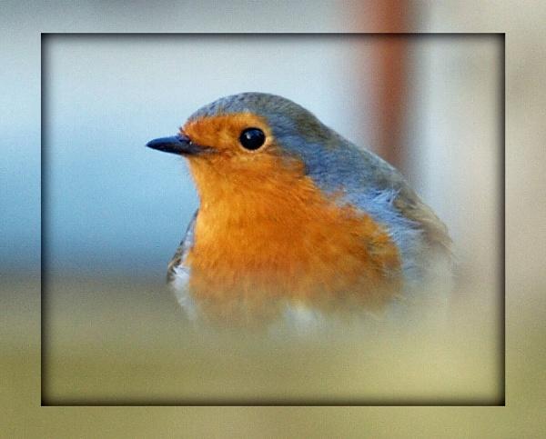 Robin by linda63