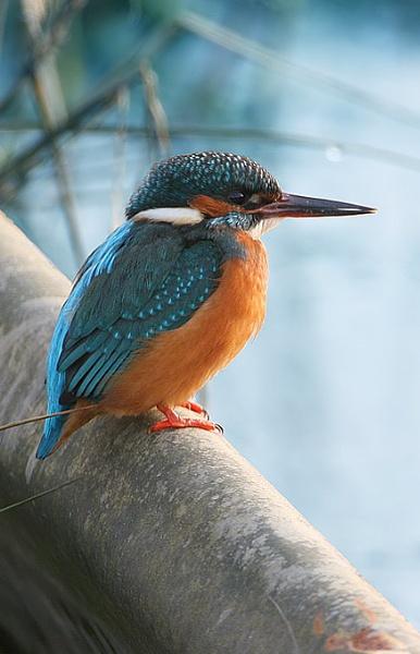 Kingfisher by nigelpye