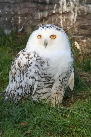 Snow white owl by steve_eb