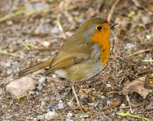 Robin by Nick_potts
